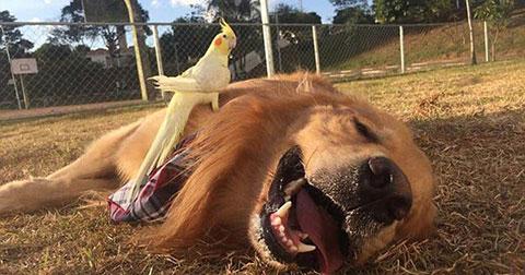 Golden retriever - Giống chó siêu thông minh và thân thiện