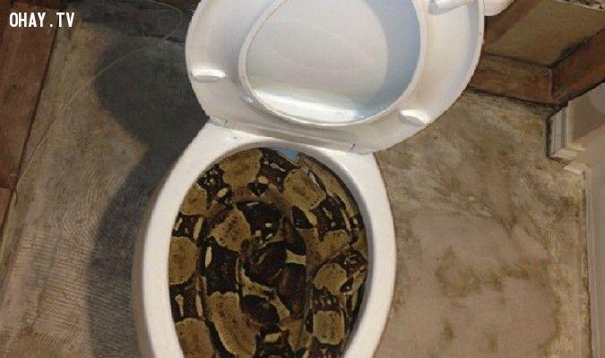 ảnh rắn úc,rắn trong toilet