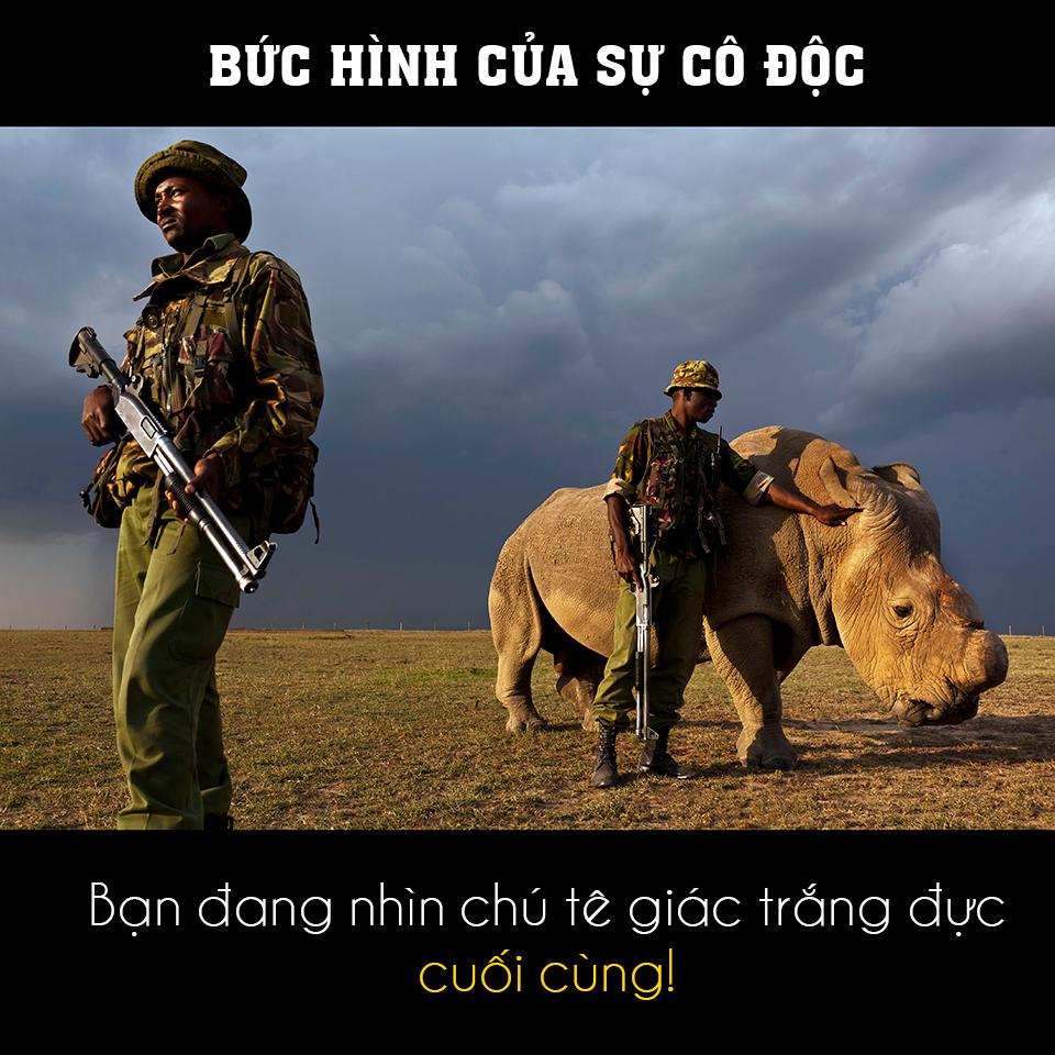 ảnh tê giác trắng đực,tê giác trắng,tê giác,động vật quý hiếm,tuyệt chủng,sừng tê giác