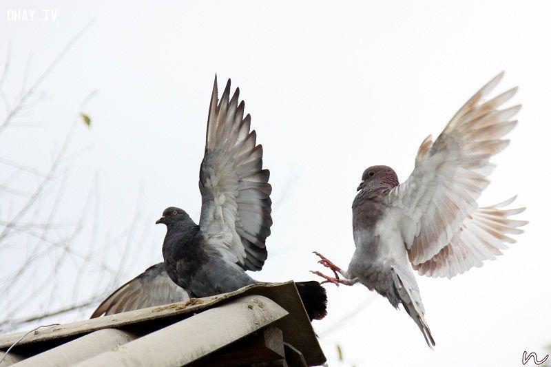 ảnh chim bồ câu,tìm đường,huấn luyện chim bồ câu