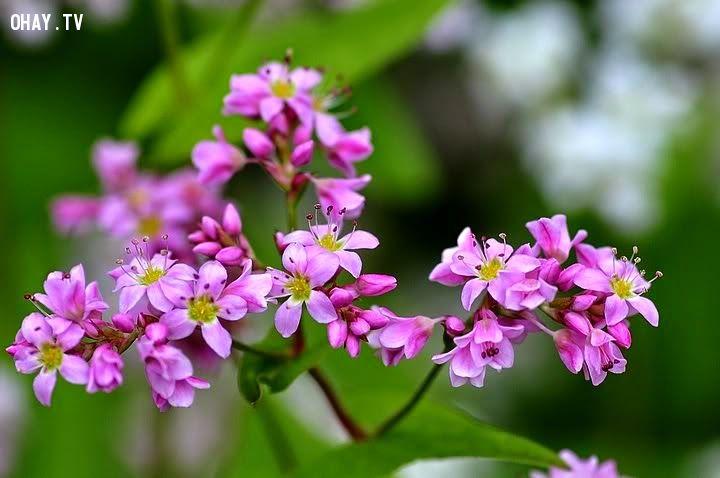ảnh cao nguyên đá đông văn,Hà giang,hoa tam giác mạch
