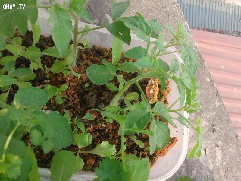 ảnh trồng rau sạch tại nhà,trồng rau,mẹo trồng rau,xỉ than