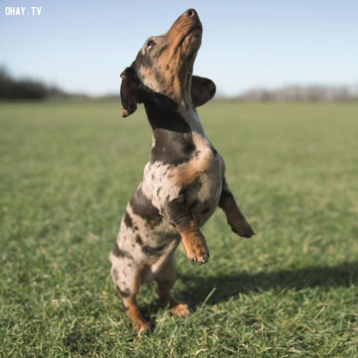 ảnh chó bay,loài chó,chú chó biết bay,Border Terrier,Labrador Retriever,các giống chó,các loài chó,Samoyed,Jack Bradley