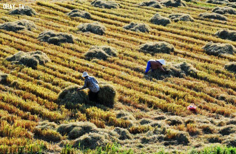 Cuối vụ gặt tại cánh đồng Phước Lộc, huyện Đông Hòa - - Ảnh: Dương Thanh Xuân