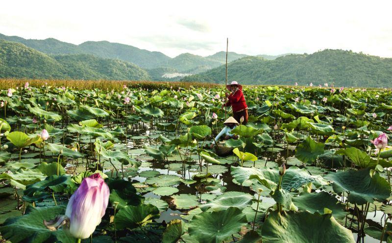 Cánh đồng sen Biển Hồ, ngay dưới chân đèo Cả - Ảnh: Dương Thanh Xuân