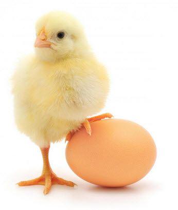 ảnh trứng có trước hay gà có trước,trứng và gà