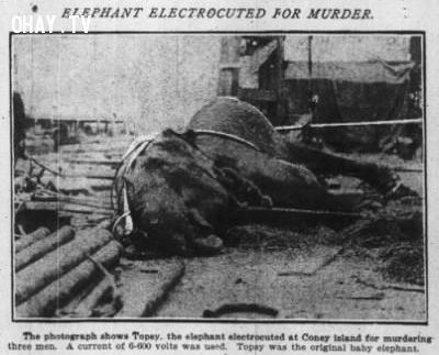 Chú voi Topsy bị giật chết bởi thí nghiệm của Edison