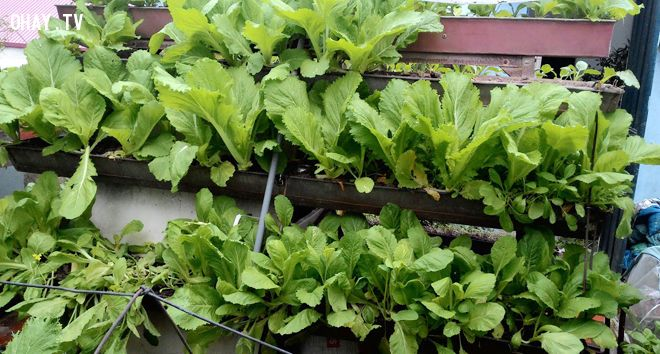 ảnh trồng rau sạch tại nhà,trồng rau tại nhà,trồng rau,rau sạch