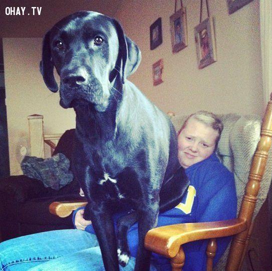 ảnh chó cưng,vật nuôi,chó to nhất,chó khổng lồ