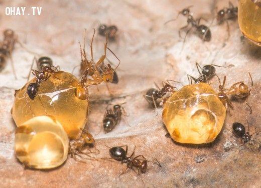 Phần bụng của kiến mật như những giọt mật vàng óng
