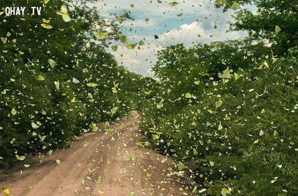 bướm rừng