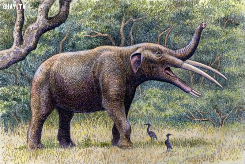 Gomphotheres
