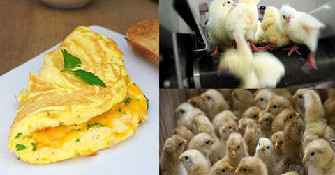 Đằng sau món trứng chiên bạn ăn hằng ngày có thể là hàng trăm triệu sinh mạng phải ra đi…
