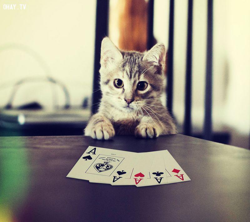 Mèo chơi bài
