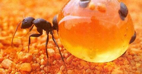 Kỳ lạ loài kiến có cái bụng 1-0-2