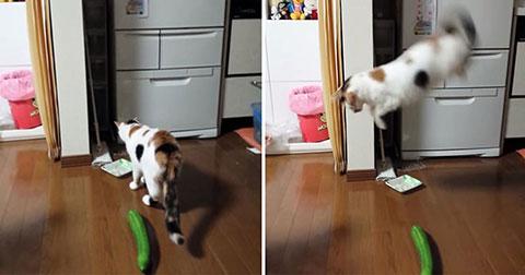 Mèo sợ dưa leo, tại sao vậy?