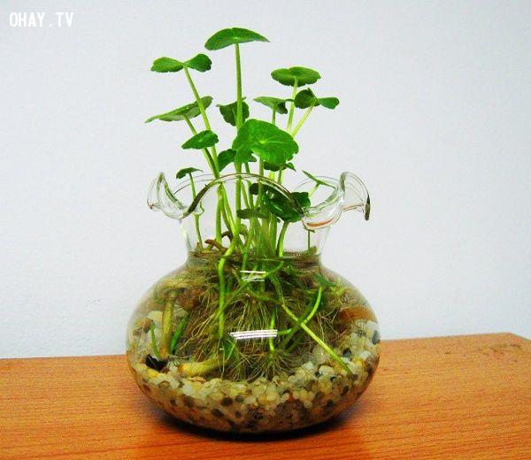 Theo quan niệm Á Đông, loài rau má trong nước sinh tài khí cực tốt cho bất cứ người mang mệnh nào