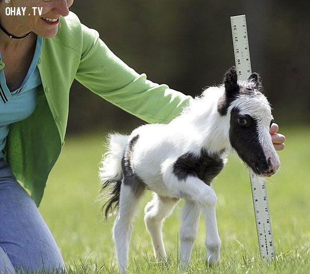 Ngựa con cao thế nhĩ