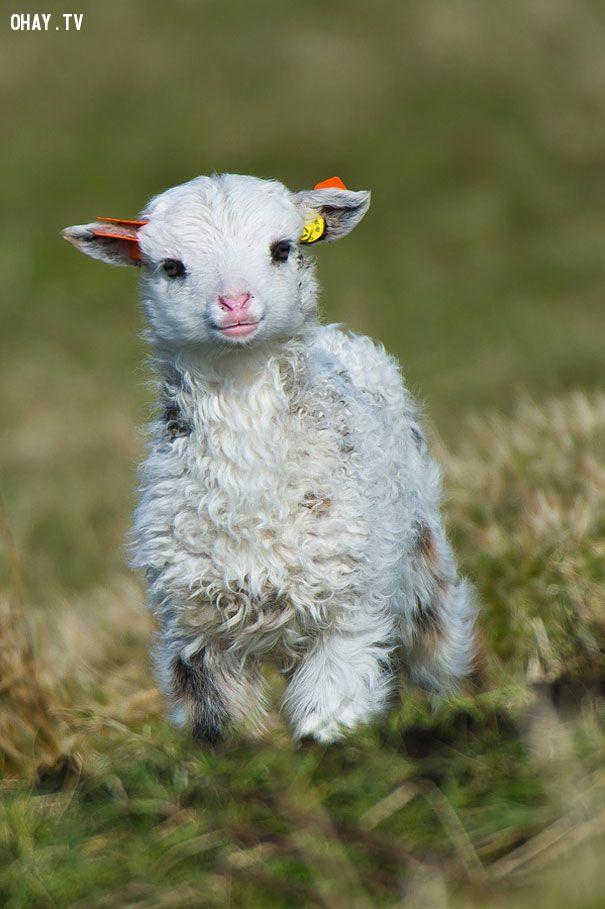 Ôi cừu con