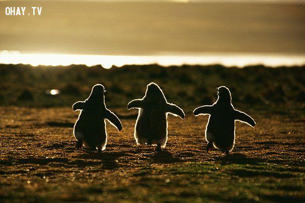 Chim cánh cụt chạy đua kìa ! Đáng yêu không !