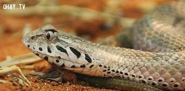 ảnh rắn độc,các loài rắn,các loài bò sát,nọc độc