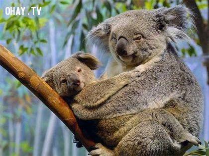 ảnh gấu túi,gấu koala,có thể bạn chưa biết