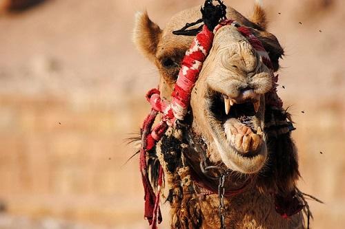 Lạc đà Dromedary