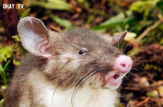 Chuột mũi lợn