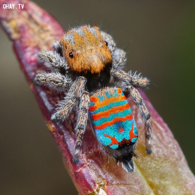 Loài nhện mới Spark lemuffin