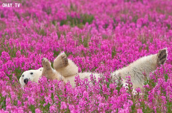 Gấu đùa nghịch giữa cánh đồng hoa
