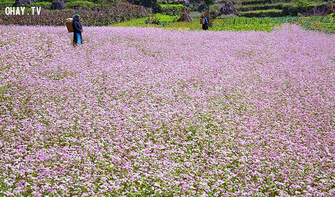 Sắc tím huyễn hoặc của rừng hoa lay động lòng người