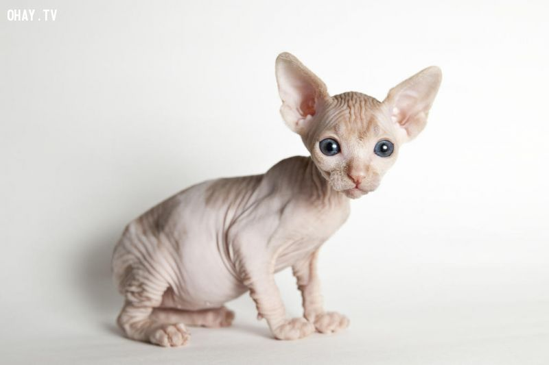 Mèo không lông