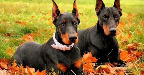 25 giống chó thông minh nhất thế giới
