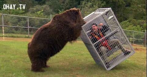 Cách sống sót khi bị gấu tấn công