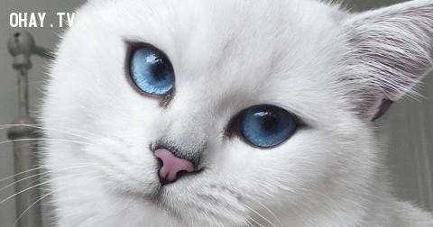 Cận cảnh chú mèo mắt xanh khiến dân mạng phát cuồng