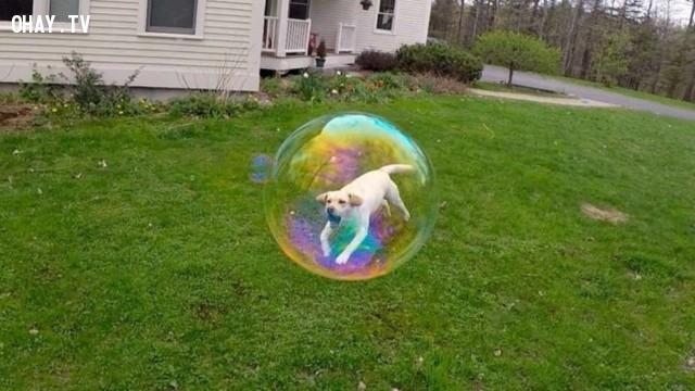 Chó bay.,