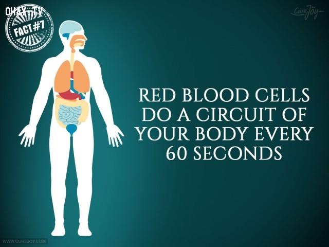 7. Các tế bào hồng cầu chạy vòng quanh cơ thể mỗi 60 giây.,sự thật thú vị,sự thật đáng kinh ngạc,cơ thể,cơ thể con người,những điều thú vị trong cuộc sống
