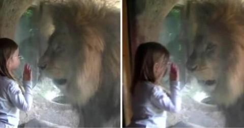 Bé gái dũng cảm hôn sư tử, phản ứng của con vật và lời bình của người lớn