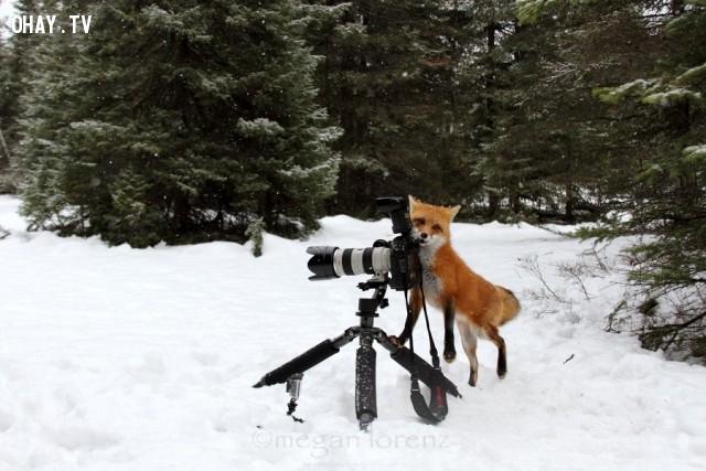 Có vẻ chú cáo đang gặp khó khăn với việc điều chỉnh khẩu độ của máy =)),đáng yêu,động vật,máy ảnh