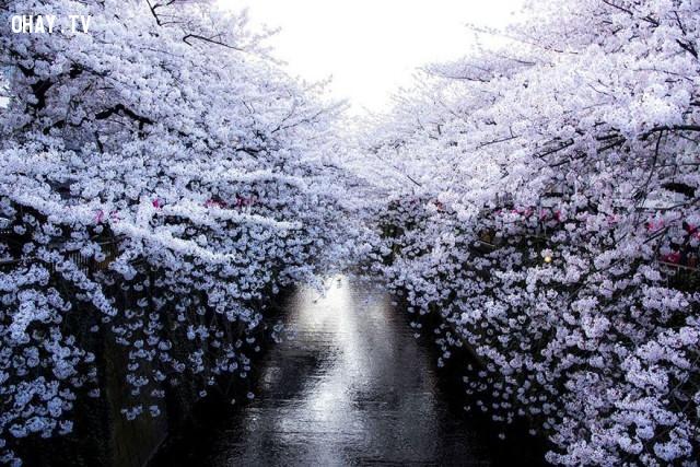 ,ảnh đẹp,hoa anh đào,Nhật Bản,National Geographic