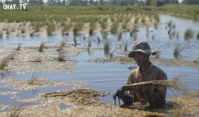 Những cánh đồng lúa chết hàng loạt vì bị nhiễm mặn ở Đồng bằng sông Cửu Long,hạn hán