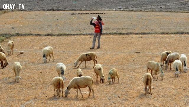 Những chú cừu cũng như gầy xọp đi trên những mảnh đất dần khô cằn,hạn hán