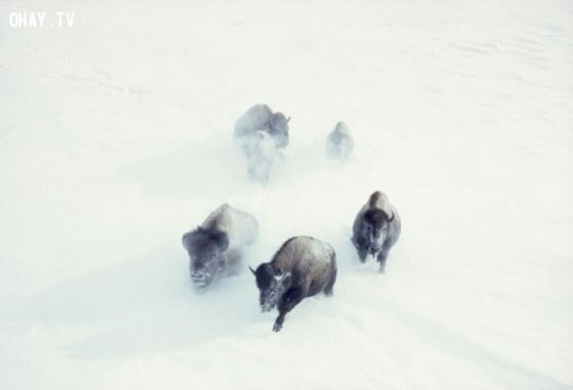 Bò rừng Bison trong bão tuyết tại Công viên quốc gia Yellowstone (11/1967),National Geographic,ảnh hiếm