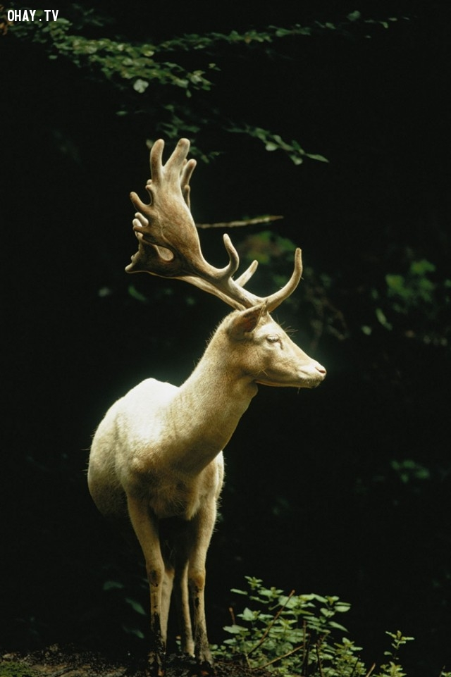 Một con hươu trắng trong một khu rừng ở Thụy Sĩ, 1973,National Geographic,ảnh hiếm