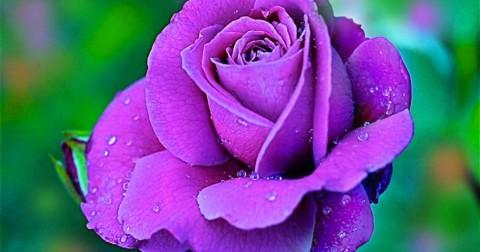 Thêm yêu cuộc sống với những cánh đồng hoa đẹp nhất thế giới