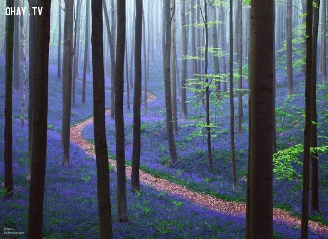 Rừng hoa chuông xanh, Bỉ,ảnh thiên nhiên đẹp,ảnh thiên nhiên rực rỡ sắc màu,ảnh đẹp