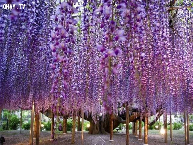Hoa tử đằng (đậu tía), Nhật Bản,ảnh thiên nhiên đẹp,ảnh thiên nhiên rực rỡ sắc màu,ảnh đẹp