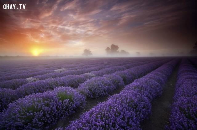 Cánh đồng oải hương, Pháp,ảnh thiên nhiên đẹp,ảnh thiên nhiên rực rỡ sắc màu,ảnh đẹp