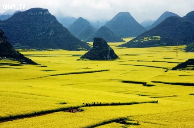 Cánh đồng hoa cải dầu, Trung Quốc,ảnh thiên nhiên đẹp,ảnh thiên nhiên rực rỡ sắc màu,ảnh đẹp