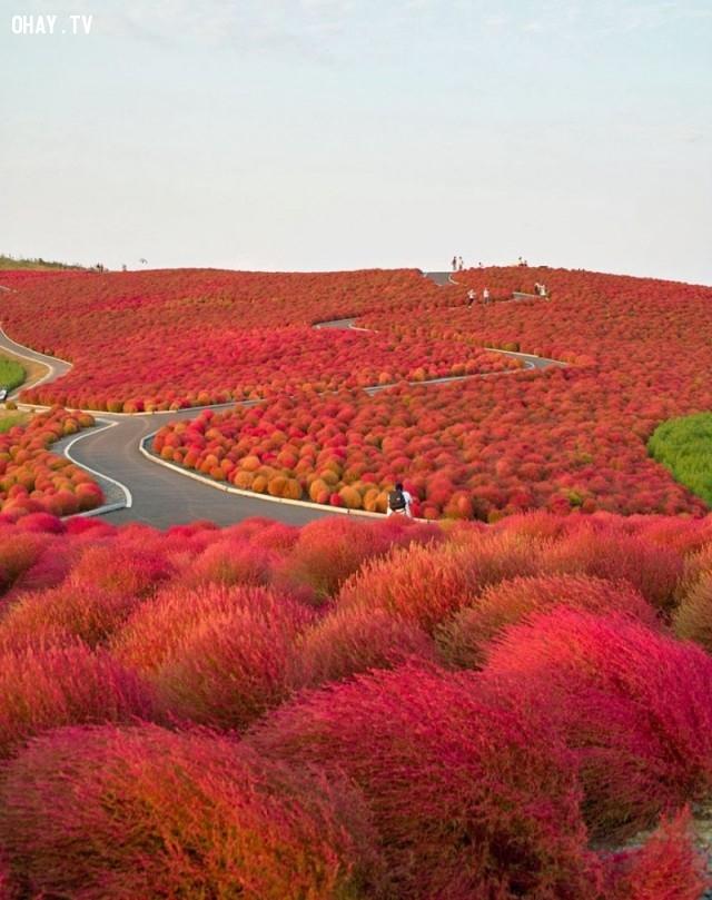 Công viên quốc gia Hitachi, Nhật Bản,ảnh thiên nhiên đẹp,ảnh thiên nhiên rực rỡ sắc màu,ảnh đẹp